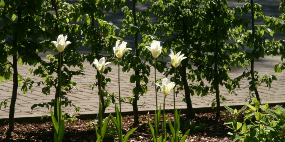 Heckenanpflanzung, Beet mit Blumenzwiebelgewächsen